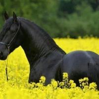 piękne czarne fryzyjskiej klacz potrzebuje nowego domu - zdjęcie 1