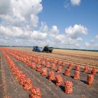 Ukraina.Gospodarstwo rolne zamienie duze ilosci ziemniakow na maszyny,plugi,agregaty,sprzet.Zolte i czerwone jadalne pakowane w siatki,opasowe powyzej 14% skrobi luzem.Ilosci tirowe,duzy plon ziemniakow oraz buraki pastewne,cukrowe,siano kiszonki,pasze i - zdjęcie 1