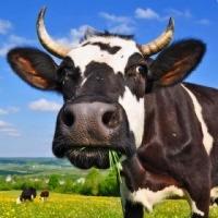 Jałówki cielne, krowy mleczne HF- Dania, Niemcy! - zdjęcie 1