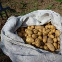 Ziemniaki, odmiana denar - zdjęcie 1