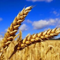 Skup zbóż - zdjęcie 1