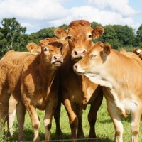Byki, odsadki(80-350kg)ras mięsnych  - zdjęcie 1