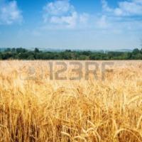 Całoroczny skup zbóż - zdjęcie 1
