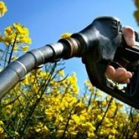 Ukraina.Ziarna rzepaku 1150 zl/tona sertyfikowane na biopaliwa i cele spozywcze.Odmiany populacyjne,typ mieszancowy z dobra zimotrwalosc cech agronomicznych.Wyselekcjonowane ziarna ozimego,jarego o wilgotnosci 6% jakosci technologicznej.Nasiona rzepaku 4 - zdjęcie 1