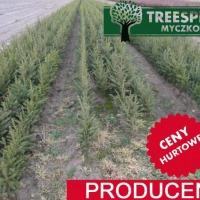 Świerk Pospolity Picea Abies 25-40cm 0,99 zł/szt Producent Hurt srebrny jodła kaukaska - zdjęcie 1