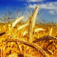 kupię pszenicę - zdjęcie 1
