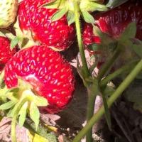 sadzonki truskawek  - zdjęcie 1
