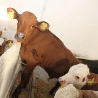 Skup żywca byki jałówki krowy i trzoda ! - zdjęcie 1