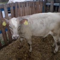 Sprzedam byczki - zdjęcie 1