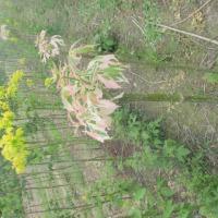 Drzewka ozdobne- brzoza zwisająca, catalpa, klon, dąb - zdjęcie 1