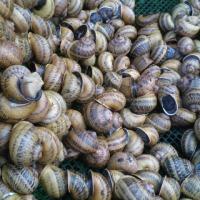 Sprzedam ślimaki helix aspersa maxima - zdjęcie 1