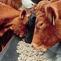 Ukraina.Krowy,jalowki od 700 zl/szt.Mleko 4% cena 0,40 zl/litr.Czernihowski obw.Mleko swieze powyzej 4% tluszczu.Prosto od krowy,nieprzetworzone i nie podane pasteryzacji.Cielaki,cieleta,byczki,bydlo mleczne w ciaglej sprzedazy.Krowy dojne, jalowki wysok - zdjęcie 1