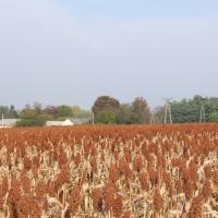 Sorgo nasiona - zdjęcie 1