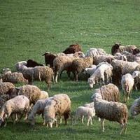 Ukraina. Owce kozy miesne 140 zl/szt, jagniecina 3 zl/kg + 10tys.ha niekoszonych nieuzytkow do zagospodarowania pod fundusze, dotacji UE. Utworzenie gospodarstwa ekologicznego zajmujacego sie chowem i hodowla koz rodowodowych rasowych. Oferujemy bardzo c - zdjęcie 1