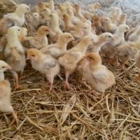Kurczak brojler czerwono brązowy ekologia agroturystyka - zdjęcie 1