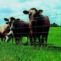 Ukraina. Byczki, jalowki 4 zl/kg. Sprzedam stada bydla miesnego, mlecznego. Wolowina, zywiec. Byki, buhaje miesne 4 zl/kg, cieleta mleczne 5 zl/kg. Czernihowski obw. Wolowina wysokiej jakosci. Krowy rasy golsztynska, lebedinska, czarnoriaba dojone do 20l - zdjęcie 1