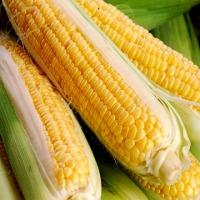 Polecamy nasiona kukurydzy - zdjęcie 1