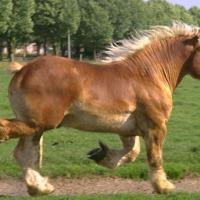 Ukraina. Ciezkie konie wlodzimierskie o duzej masie ciala w cenie zywca 3 zl/kg. Ulokowane w strefie rolno-lesnej sa zwierzetami bardzo silnymi i masywnymi. W odpowiednich cechach budowy nadaja sie doskonale do powolnej pracy pociagowej na drogach twardy - zdjęcie 1