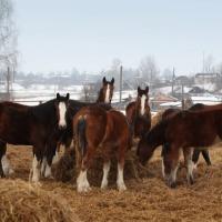 Ukraina. Konie, zwierzeta hodowlane, ogiery, klacze, siwe rysaki 900 zl. Stajnia koni, koszary, stragi, gospodarstwo rolne, laki, pastwiska, stawy rybne oddamy w rece inwestorskie prywatnego biznesu. Kompleks produkcyjny na bazie bylego kolchozu Pushkari - zdjęcie 1