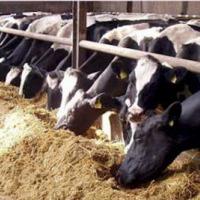 Ukraina. Krowy pierwiastki od 700 zl/szt. Mleko 4% cena 0,40 zl/litr. Czernihowski obw. Mleko swieze powyzej 4% tluszczu. Prosto od krowy, nieprzetworzone i nie podane pasteryzacji. Cielaki, cieleta, byczki, bydlo mleczne w ciaglej sprzedazy. Krowy dojne - zdjęcie 1