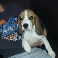 Beagle z rodowodem ZKwP/FCI - zdjęcie 1