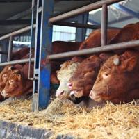 Sprzedaż bydła rzeźnego - zdjęcie 1
