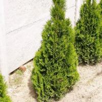 thuca occ. smaragd, danica - zdjęcie 1