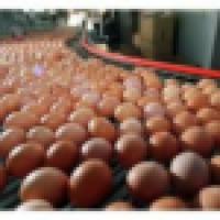 Jaja kurze dietyczne od 1,7zl opakowanie 10szt. Swieze najwyzszej klasy od kur karmionych pasza wlasnej produkcji z chowu sciolkowego, klatkowego, wolnego wybiegu. Biale i brazowe rozmiarow S,M,L,XL o wadze 35~75 gram, przepiorcze 12g hodowli ekologicznej - zdjęcie 1